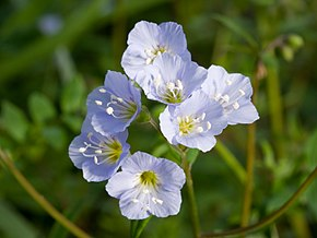 Description de l'image Polemonium reptans 2009.jpg.