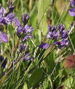 Polygala vulgaris 290504.jpg