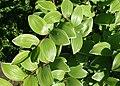 Polygonatum odoratum var. pluriflorum 'Variegatum' kz02.jpg