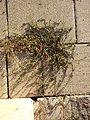 Polygonum aviculare subsp. depressum (s. lat.) sl1.jpg