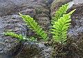Polypodium hesperium.jpg