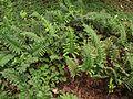 Polypodium scouleri.jpg