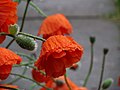 Poppies in the rain.jpg