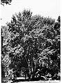 Populus Alba White Alba, Botanic Gardens(GN12504).jpg