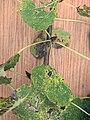 Populus tremula bud, ratelpopulier knop.jpg