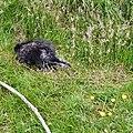 Porcupine at Blackpool Zoo (geograph 4022202).jpg