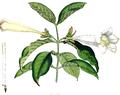 Portlandia grandiflora SmSo.png
