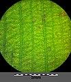 Potamogeton nodosus sl64.jpg