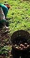 Potato picking.jpg