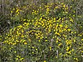 Primrose monkeyflower, Erythranthe primuloides (=Mimulus primuloides) (40087524084).jpg