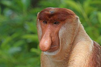Proboscis monkey - Male