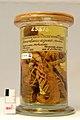 Procambarus digueti Preserved Specimen.jpg