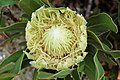 Protea (3187486322).jpg