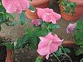 Prtunia hybrida pink magic-2-yercaud-salem-India.JPG