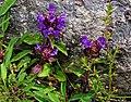 Prunella vulgaris, 4200 m, Thame, Khumbu region, Nepal.jpg