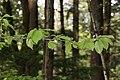 Prunus cerasus 2703.JPG