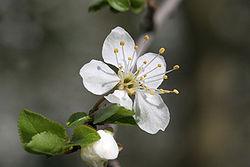 Prunus insititia 01.jpg