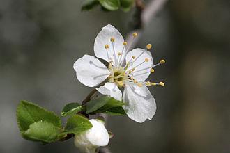 Mirabelle plum - Blossom of Mirabelle plum in detail