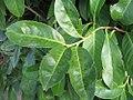 Prunus laurocerasus 1zz.jpg