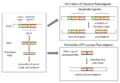Pseudo gene schematic.png