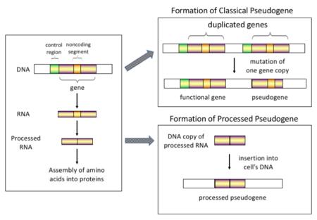 Pseudogene - Wikipedia