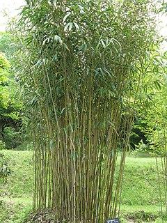 <i>Pseudosasa</i> genus of plants