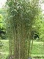 Pseudosasa japonica6.jpg