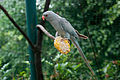 Psittacula krameri -Kuala Lumpur Bird Park, Malaysia -colour mutation-8a.jpg