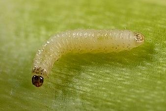 Psylliodes chrysocephala larva (31104084994).jpg