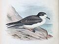 PterodromaSandwichensis.jpg