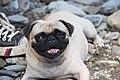 Pug dog image.jpg