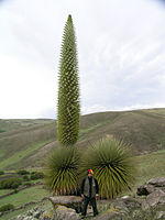 Puya raimondii flowering in Ayacucho, Peru