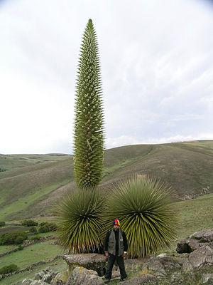 Titankayuq - Titanka (Puya raimondii) flowering in Ayacucho, Peru