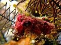 Pygmy cuttlefish.jpg