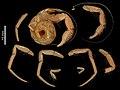 Pylopaguropsis similis (MNHN-IU-2014-11108).jpeg