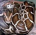Python molurus molurus 2.jpg