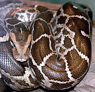 Ropar Wetland - Image: Python molurus molurus 2