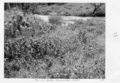Queensland State Archives 4290 Treated Noogoora Burr Tent Hill Gatton 1950.png