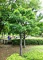 Quercus myrsinifolia - Urban Greening Botanical Garden - Kiba Park - Koto, Tokyo, Japan - DSC05262.jpg