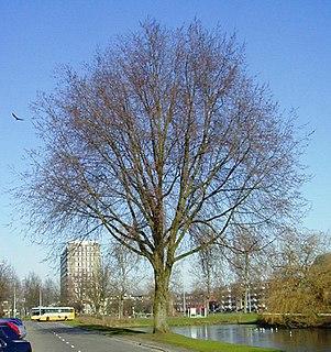 <i>Ulmus</i> × <i>hollandica</i> Vegeta