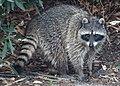Raccoon (8598193932).jpg
