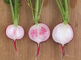 Radish - Section through radishes