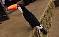 Ramphastos toco -Chapada Imperial, Brazilian Federal District, Brazil-8a.jpg