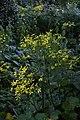 Ranunculus cortusifolius 03.jpg