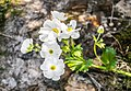 Ranunculus lyallii in Arthur's Pass NP 08.jpg