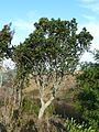 Rapanea melanophloeos, habitus, Louwsburg.jpg