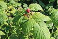 Raspberries in Isère.JPG