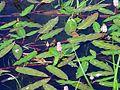 Rdesno bažina Rosice.JPG