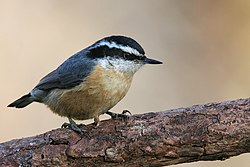 Red-breasted-Nuthatch.jpg