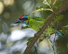 Red-crowned Barbet ( Megalaima rafflesii ).jpg